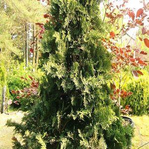 Compact Hinoki False Cypress