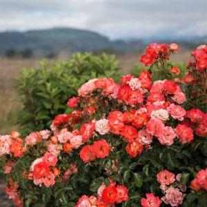 Easy Elegance® Coral Cove Rose