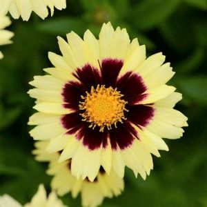 UpTick™ Cream & Red Coreopsis