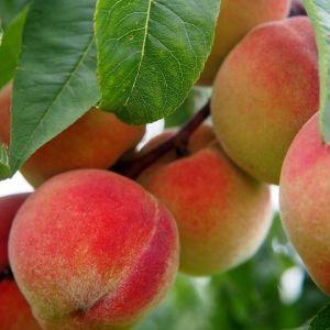 Crimson Rocket™ Peach Tree