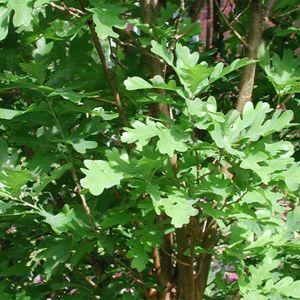 Crimson Spire™ Oak