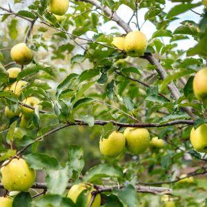 Crunch-A-Bunch Apple Tree