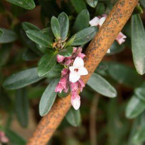 Eternal Fragrance Daphne
