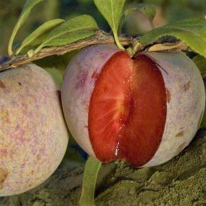 Dapple Dandy Pluot® Tree