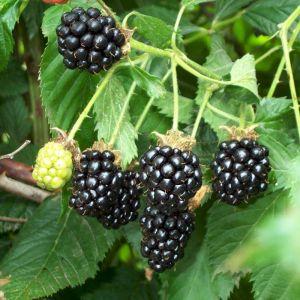 Darrow Blackberry Bush