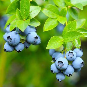 Darrow Blueberry Bush