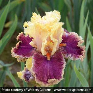 Decadence Tall Bearded Iris