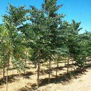 Decaf Kentucky Coffeetree