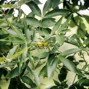 Desirable Pecan Tree