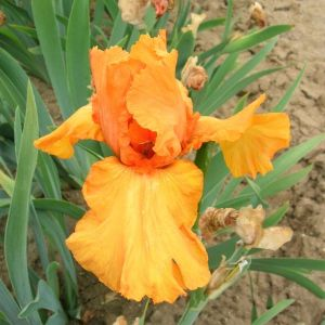 Disco Music Tall Bearded Iris