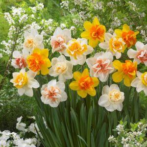 Double Daffodil Blend