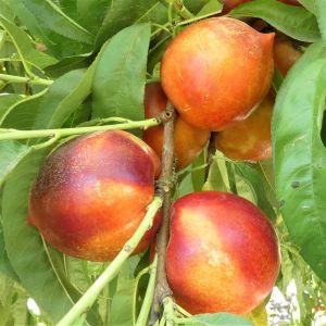 Double Delight Nectarine Tree