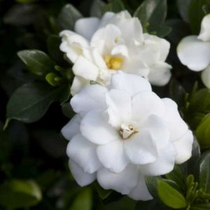 First Editions® Double Mint Gardenia