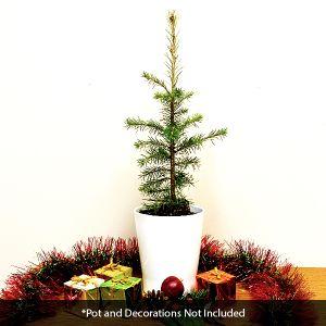 Douglas Fir Tabletop Christmas Tree