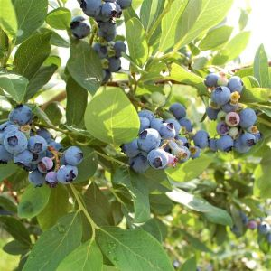 Draper Blueberry Bush