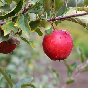 Red Fuji Apple Tree