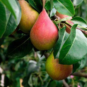 Summercrisp Pear Tree