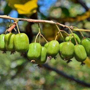 Kiwi Magic™ Hardy Kiwi Combination Tree