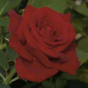 Drop Dead Red Rose Tree