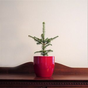 Fraser Fir Tabletop Christmas Tree