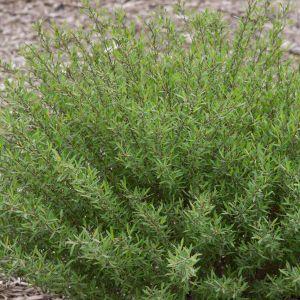 Dwarf Blue Leaf Arctic Willow