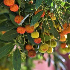 Dwarf Strawberry Tree