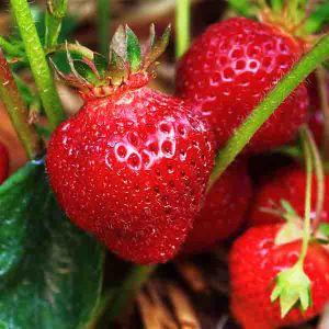 Earliglow Strawberry Plant