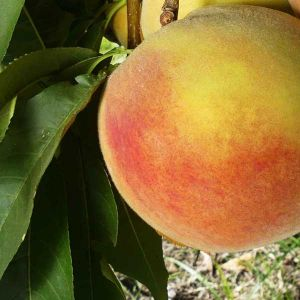 Early Elberta Peach Tree