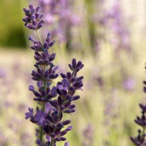 Avignon Early Blue Lavender