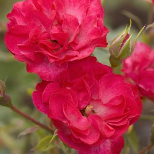 Easy Elegance® Mystic Fairy® Rose