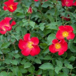 Easy Elegance® Screaming Neon Red™ Rose