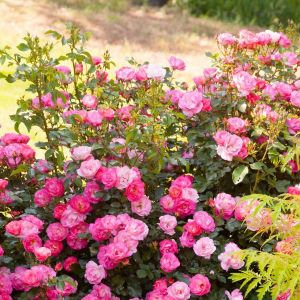 Easy Elegance® Sunrise Sunset Rose
