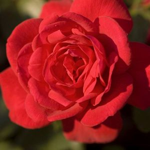 Easy Elegance® Super Hero Rose