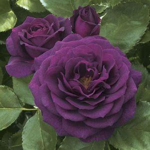 Ebb Tide Rose Tree