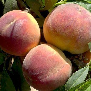 El Dorado Miniature Peach Tree