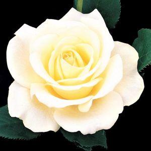 Elina® Rose