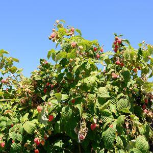 Encore Raspberry Bush