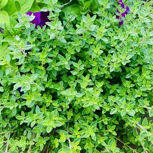 English Thyme Plant