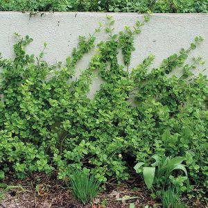 Vegetus Euonymus
