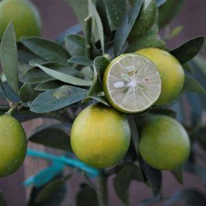 Eustis Limequat Tree