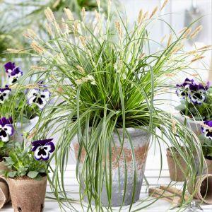 EverColor® Everlime Variegated Sedge Grass