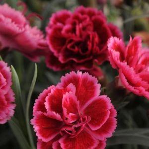 Dianthus Everlast Burgundy Blush