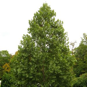 Exclamation!™ London Planetree