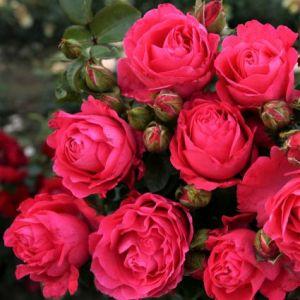 Fiji™ Eleganza® Rose