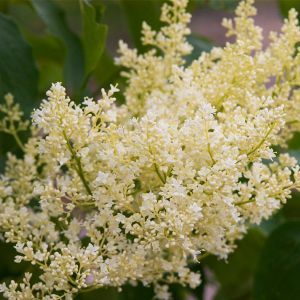 First Editions® Snowdance™ Japanese Tree Lilac