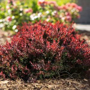 First Editions® Lambrusco™ Barberry Bush