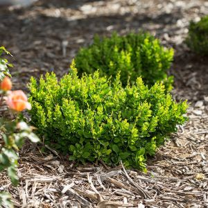 First Editions® Moscato™ Barberry Bush