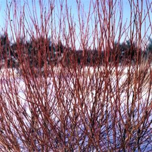 Flame Willow Tree