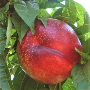 Flavor Gold Columnar Nectarine Tree