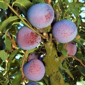 Flavor King Pluot Tree